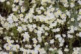 Plagiobothrhys figuratus  Fragrant popcornflower