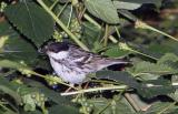 Warbler,Blackpoll
