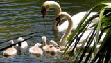 Swans and five cygnets
