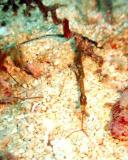 Pygmy Pipefish