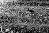 Heron in mangrove