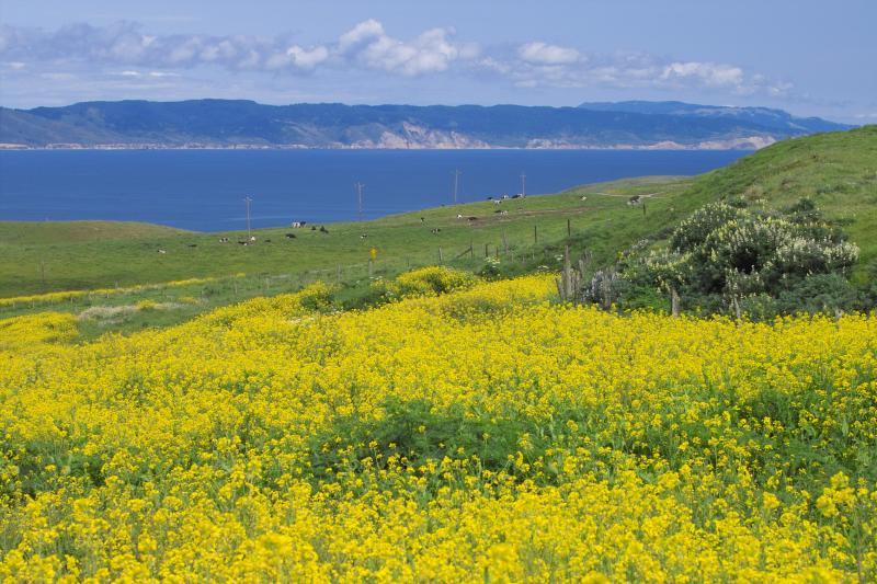 mustard plant & cows