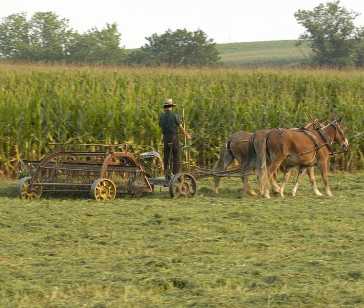 Amish Farmer Raking Hay