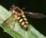 Epistrophella emarginata (male)