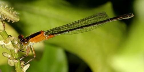 Ramburs Forktail - Ischnura ramburii (female)