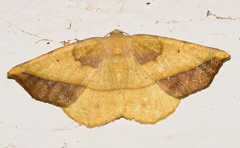 6933 -- Dark-edged Eusarca Moth -- Eusarca fundaria