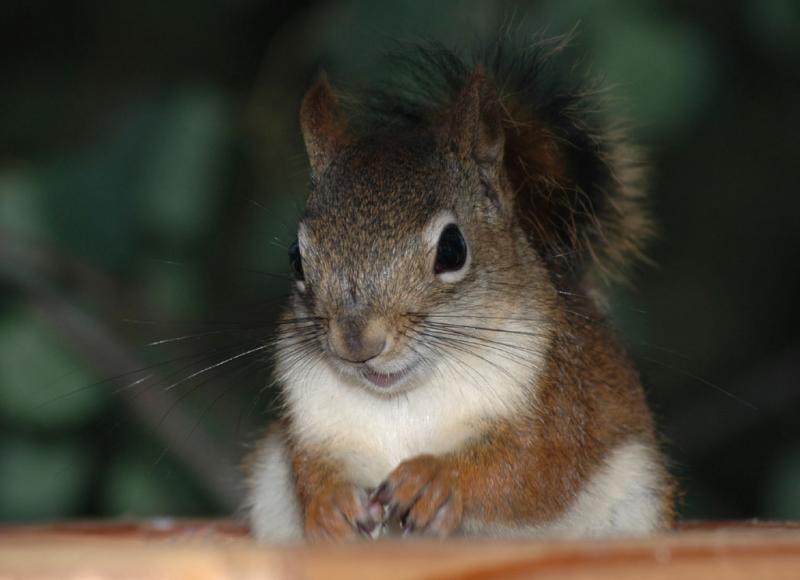 red squirrel DSC_0010.jpg
