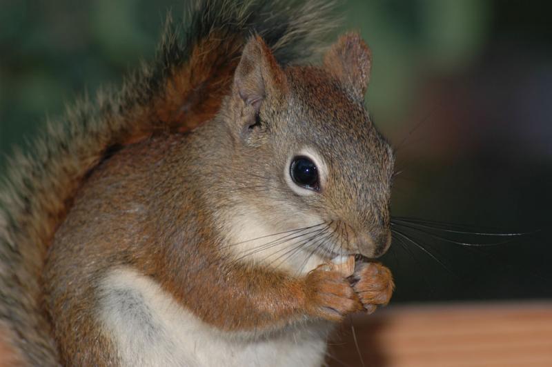 red squirrel DSC_0011.jpg