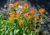 Indian Paintbrush 1