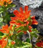 Indian Paintbrush 2