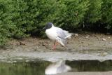 Bonaparte's Gull with injured wing