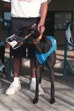 Racing Greyhounds are muzzled for their safety