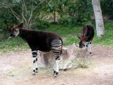 Okapi  - San Diego Wild Animal Park in Escondido