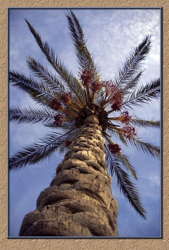 A Dream of a Palm Tree