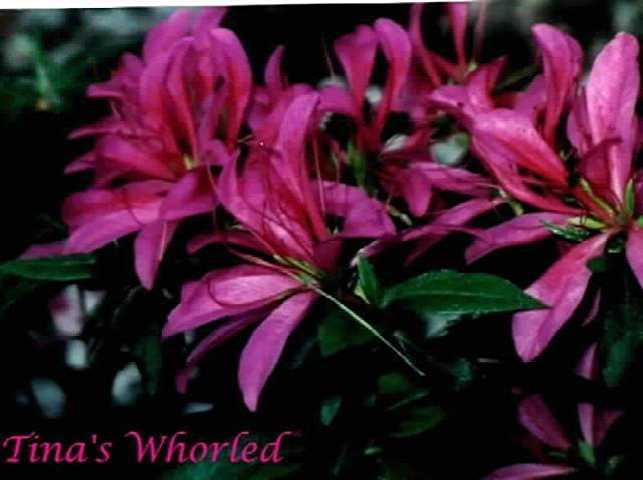 Tinas Whorled