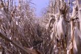 Corn Rows.JPG