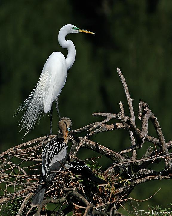 Great Egret  / Anhinga