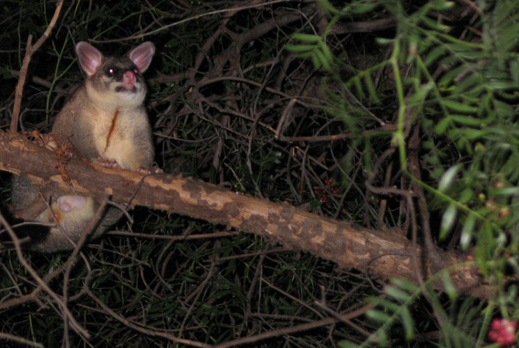 Possum In Our Tree