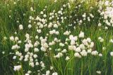 cottongrass. Yukon