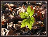 Dunes Maple leaf