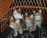 Four kittens