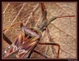 Western Conifer Seed Bug on a leaf