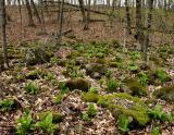 Skunk Cabbage 0334.jpg