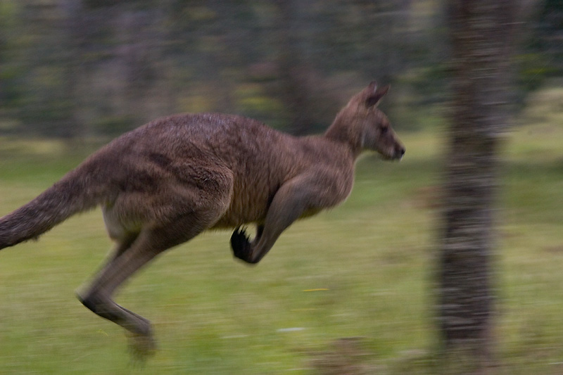 Kangaroo in flight in rain