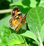 phaon crescentspot