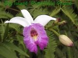 It's our famous Big Island Wild Orchid that grows everywhere!!!...Donovan CSA Hilo Station