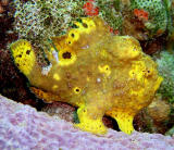 Frogfish        2001-2002