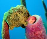 Longlure Frogfish 2
