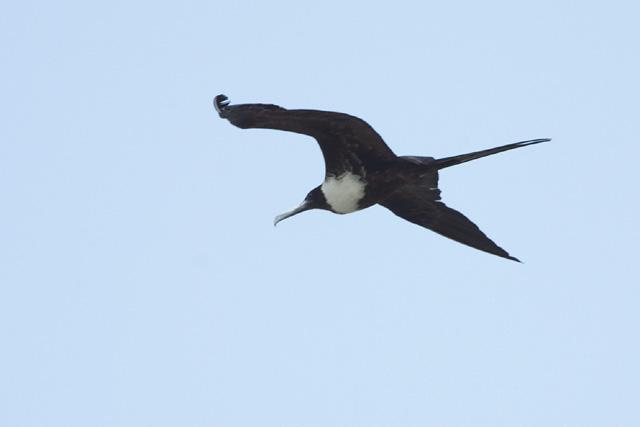 <!-- CRW_8197 copy.jpg -->Magnificent Frigatebird (?)