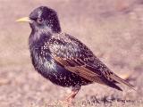 024 Starling.jpg