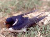 027 Swallow.jpg