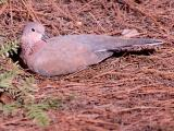 050 Laughing Dove.jpg