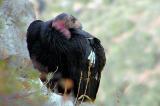 Califrnia Condor.jpg