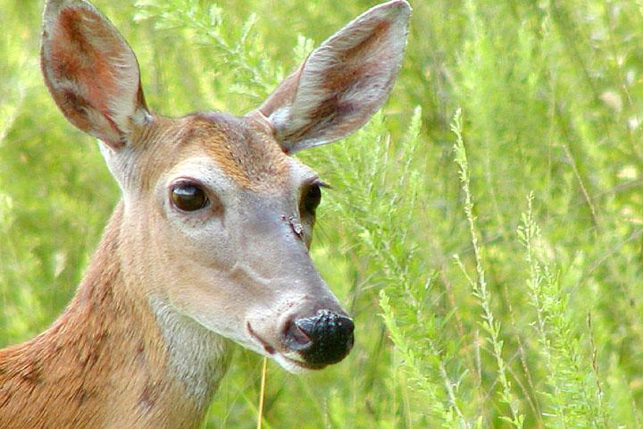 WhiteTail Deer 2.JPG
