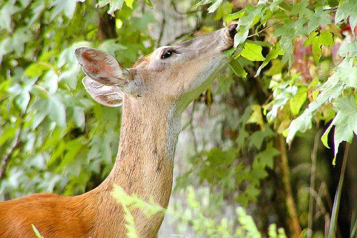 WhiteTail Deer 3.JPG
