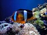Clown Fish (Also known as Anenome fish or Nemo)