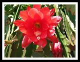 cactus in bloom.jpg