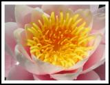 water lily2.jpg
