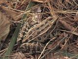 Rana pipiens -- brown