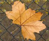 Leaf in Fence.