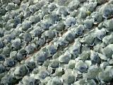 Kimchee Cabbage Field