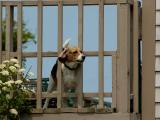 Dog in fence 4462.jpg