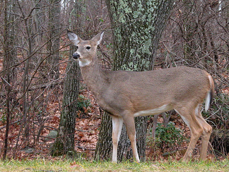 11/20/04 - White Tailed Deer