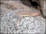Lesser Earless Lizard?