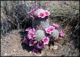 Unknown cactus in bloom...