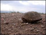 Desert Box Turtles...